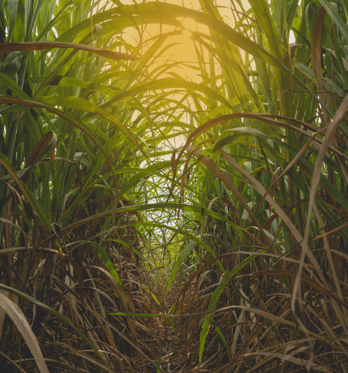 Cane Field